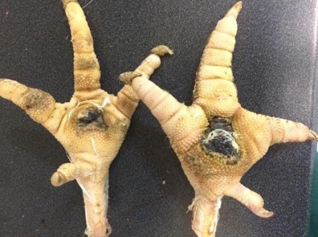 <p>SVISÅR: Kalkunføtter med det Mattilsynet beskriver som «grove skader». Tråputene har åpne kjøttsår, og foten til høyre er tydelig hoven.</p>