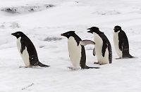 150.000 «døde» pingviner kan være i live