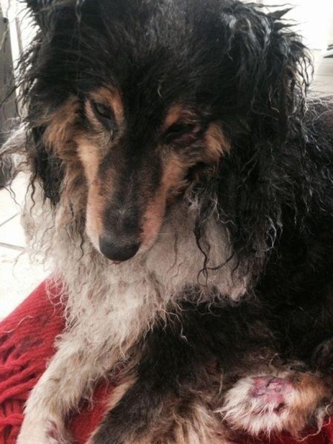 <p>SKADET: Buster har søndag vært til behandling hos veterinær. Behandlende veterinær har godkjent bruk av bildet i media.</p>