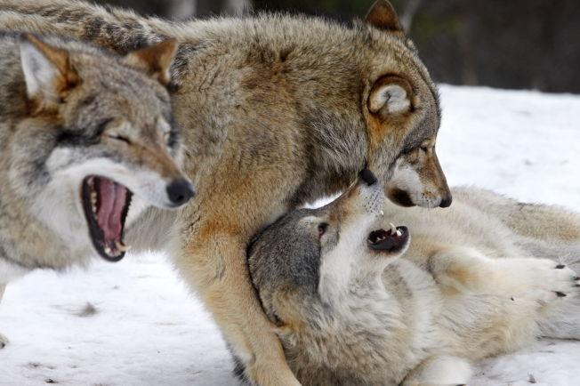 <p>JAKT: Politikerne ser til Sverige når det skal vurderes om hund kan brukes i ulvejakt.</p>